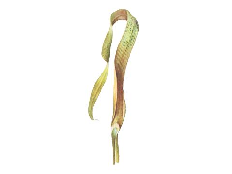 Септориоз листьев пшеницы