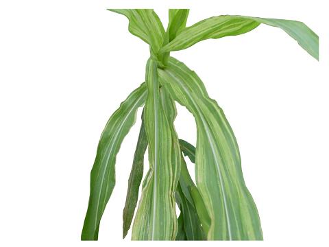 Склероспороз кукурузы