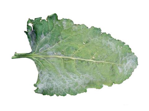 Роса мучнистая сахарной свеклы - Верхняя сторона пораженного листа