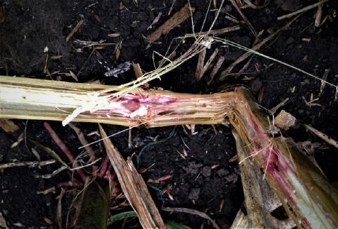 Гниль стеблевая кукурузы - Розоватый мицелий патогена в пораженном стебле.
