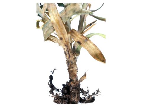 Гниль стеблевая кукурузы - Фрагмент пораженного растения кукурузы.
