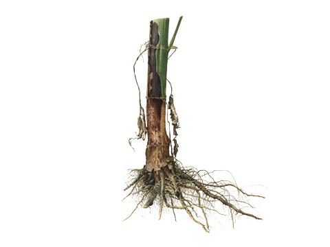 Гниль белая подсолнечника - В сырую погоду основание стебля покрывается плотной белой пленкой мицелия, пораженная часть буреет, затем чернеет и резко отделяется от здоровых тканей.
