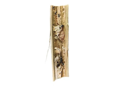 Гниль белая подсолнечника - Продольный разрез пораженного стебля.