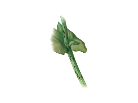 Ржавчина гороха - Uromyces pisi (Pers.) de Bary — Телейтопустулы на стебле.