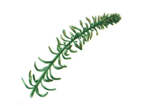 Ржавчина гороха - Uromyces fabae (Pers.) DB. f.sp.pisi-sativae Hirat — Побег кипарисового молочая, пораженный ржавчиной.