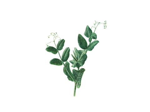 Ржавчина гороха - Uromyces fabae (Pers.) DB. f.sp.pisi-sativae Hirat — Часть растения гороха, пораженного ржавчиной.