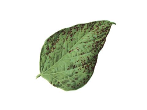 Пятнистость угловатая бактериальная фасоли - Более поздняя стадия заболевания.