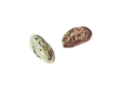 Пятнистость угловатая бактериальная фасоли - Пораженные семена.