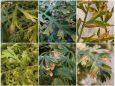 Ожог бактериальный моркови - Симптомы бактериального ожога моркови на листьях разных сортов.