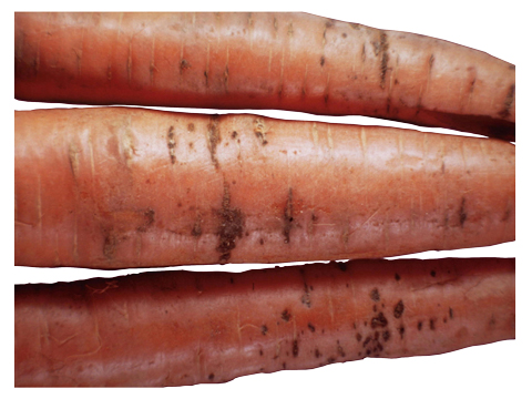Ожог бактериальный моркови - Симптомы на корнеплодах моркови.