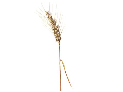 Головня твердая пшеницы