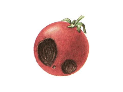 Альтернариоз томата - Симптомы поражения на плодах