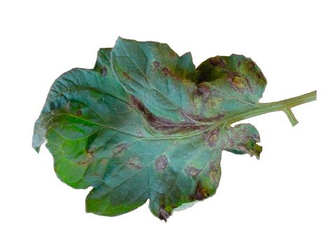 Вирус пятнистого увядания томата - Пораженный лист
