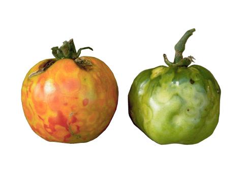 Вирус пятнистого увядания томата - Пораженные плоды