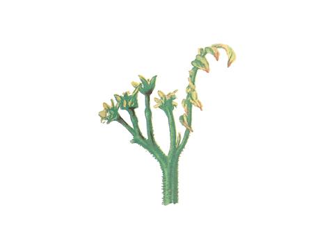 Столбур томата - Листья скручиваются, становятся лодочкообразными