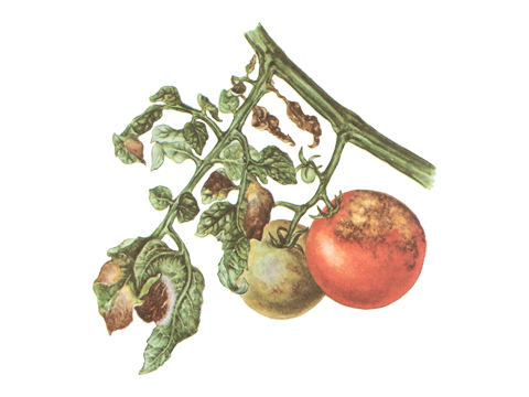 Фитофтороз пасленовых (томата)