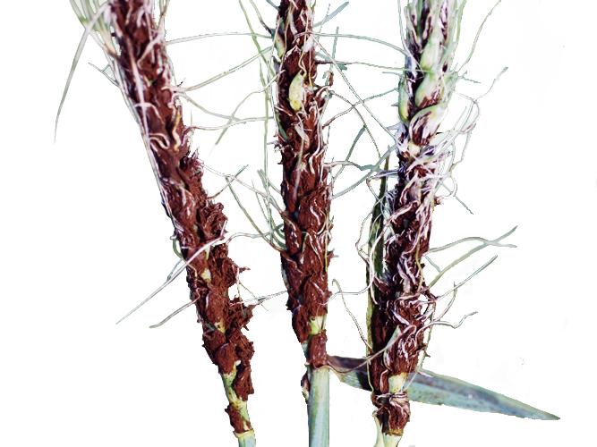 Головня пыльная пшеницы и ржи - Симптомы заболевания на колосе пшеницы.