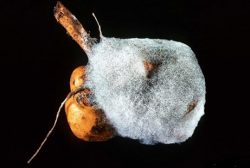 Зигомикота - <i>Rhizopus stolonifer</i>