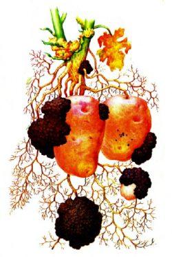 Хитридиомикота - Клубни картофеля, пораженные раком